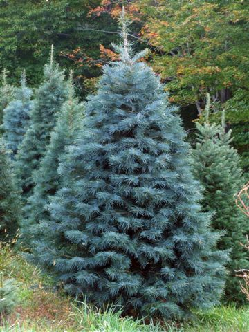 White Fir (Abies concolor)